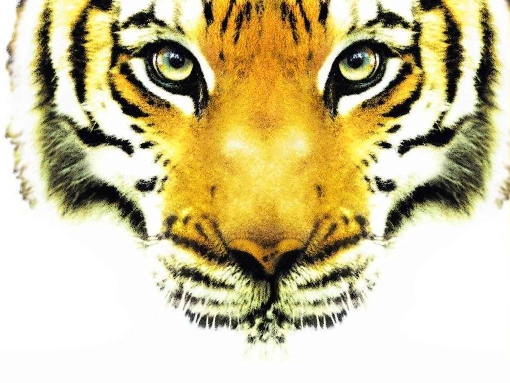 Tigre - Image tete de tigre ...
